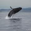 Humpback Breeching-7002