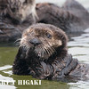 Sea Otters( Enhydra lutris) : Sea otter shots were taken in Moss Landing harbor, CA( in between Monterey and Santa Cruz)