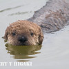 seaotters- baby swimming