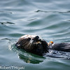 Sea Otter eating something( mother)