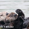 seaotters- Mom and pup