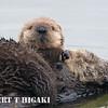 sea otter-98