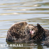 "sea otter- the pup is ""buried"" by Mom but you can see this teeth- nasty"