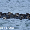 seaotter raft( this is what you call a group of sea otters)