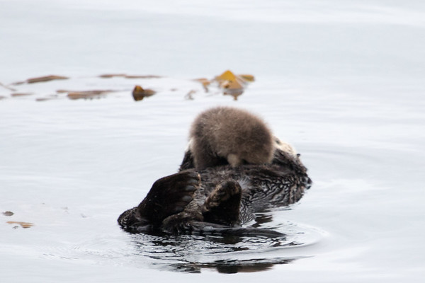Morro Bay Sea Otters October 2017