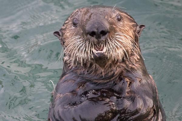 Sea Otters January 2018