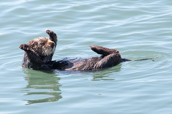 Sea Otters May 2017