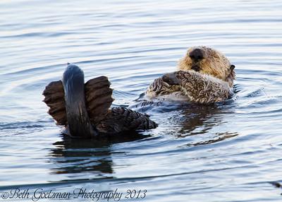 Morro Bay - Sea Otters