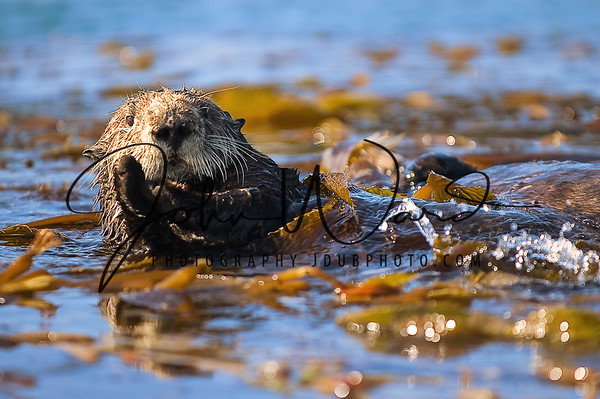 AN007 Sea Otters