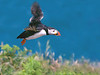 puffin flight