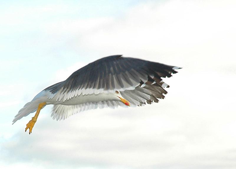 Seagull in reykjavik