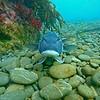 blue cod on sea bed