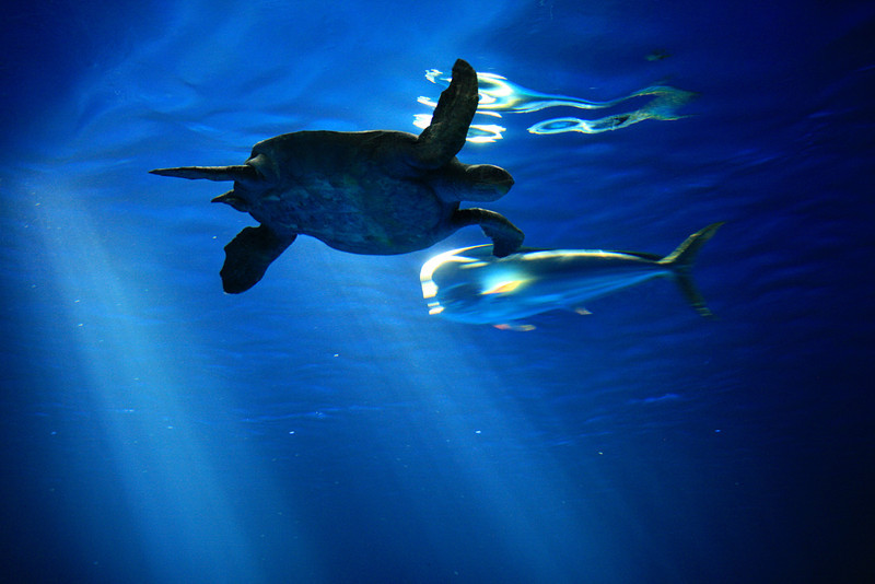 Turtle Monterey Bay Aquarium 010212