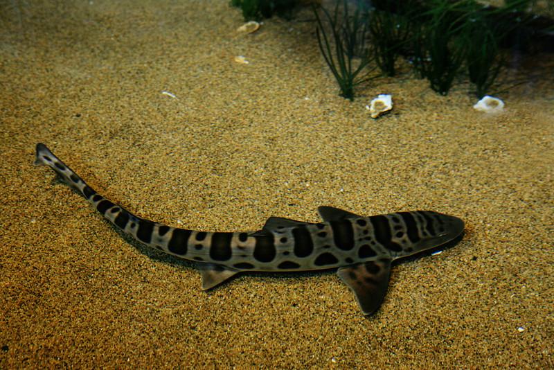 Baby Tiger Shark