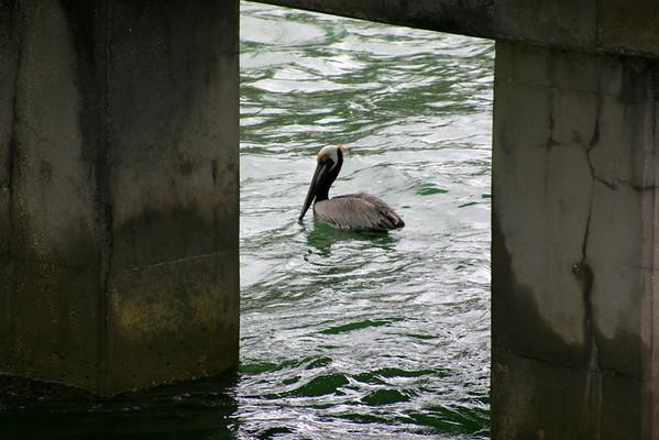 """Seabird Rescue: """"Pelican Patrol"""""""