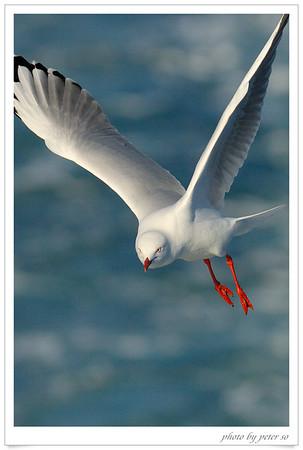 Seagull 海鷗