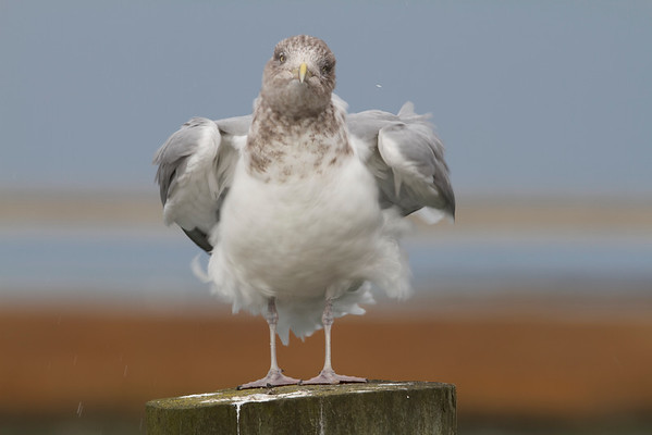 Seagulls , Beach and Shore Birds