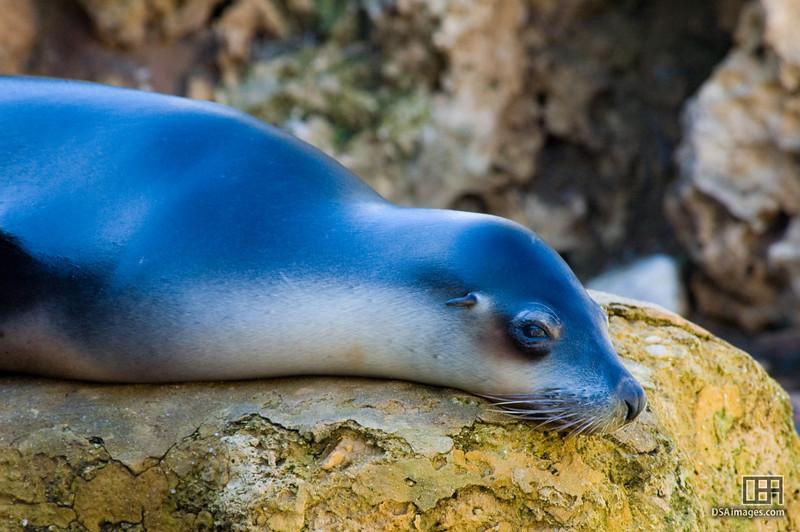 Australian Sea-Lion (Neophoca cinerea)