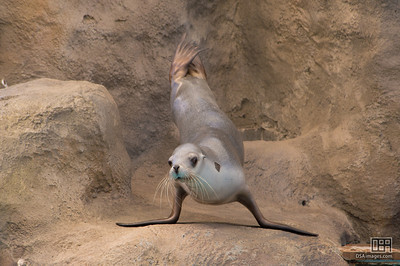 Member of the Taronga Zoo seal show