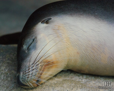 Australian Sea-lion (Neophoca cinerea)