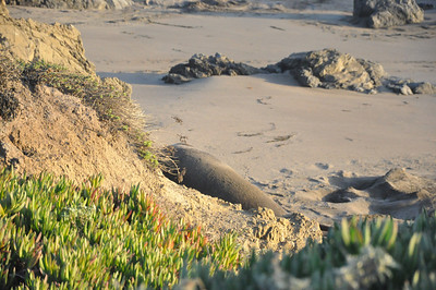 Elephant Seal Nursery Beach CA 5 January 2012