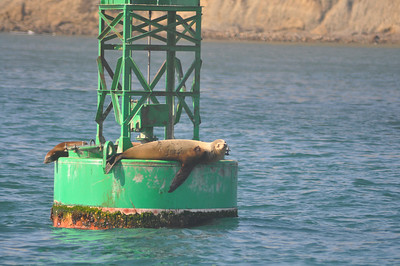 Sea Lions 22 November 2009