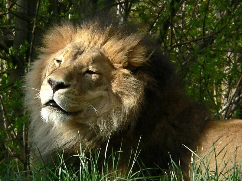 Seattle Woodland Zoo <br /> <br />  - The King ! (cropped)