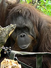 Seattle Woodland Zoo<br /> <br />  - Shy Orangatun