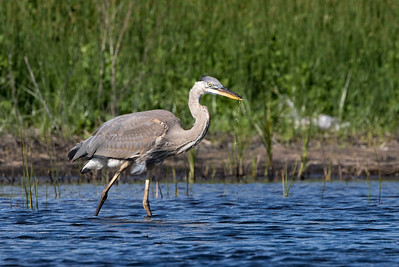 Sept  24th 2016  Great Blue Heron Brier Island