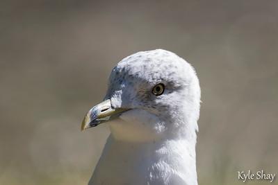 Sept 27th Ring billed Gull Pigeon Halifax Public Gardens