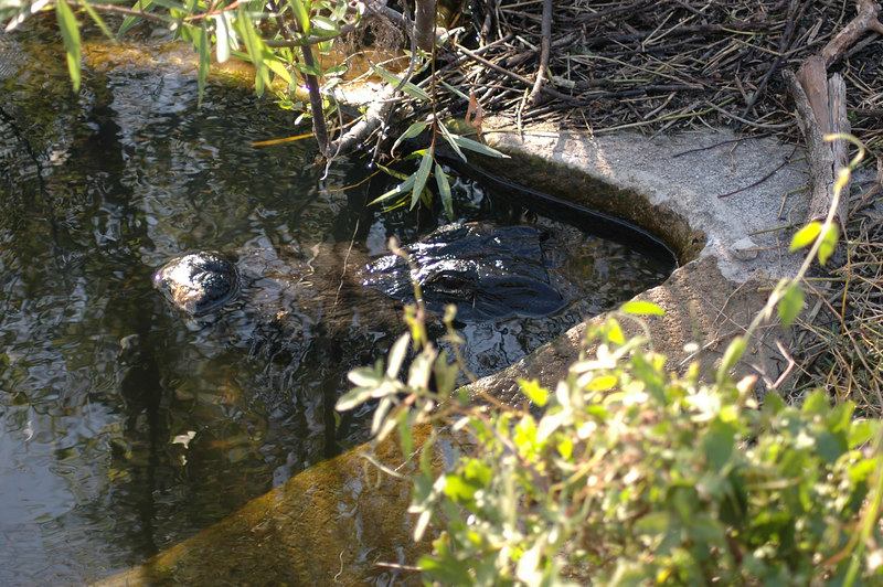 Can you see it?  A gator was hiding in a storm drain pipe.