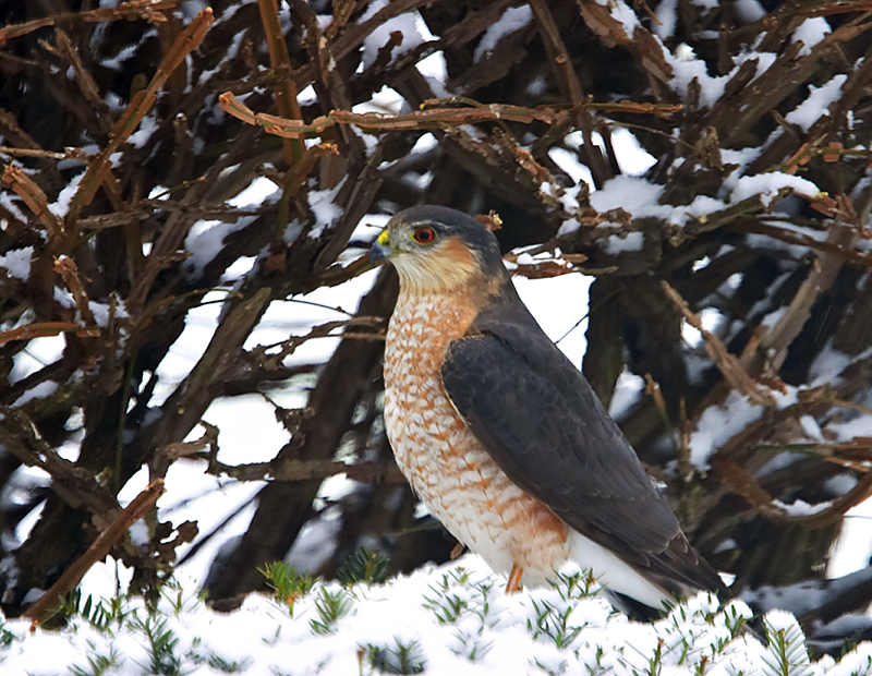 "Description 10-14"" (25-36 cm). W. 21"" (53 cm). A jay-sized, fast-flying hawk with a long, narrow, square-tipped tail and short rounded wings. Adult slate-gray above, pale below, with fine rust-colored barring. Immature birds brown above with whitish spots, creamy white below with streaks on breast, barring on flanks. Cooper's Hawk is bigger, with proportionately larger head and more rounded tail tip; flies with slower wingbeats."