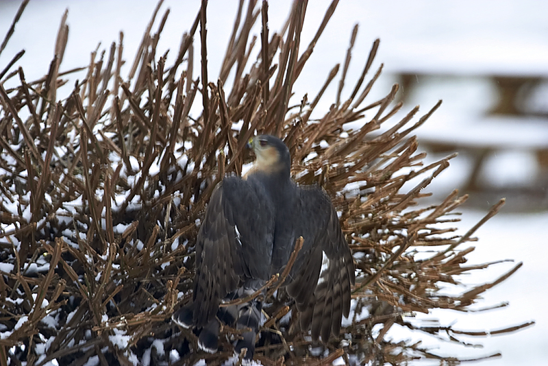 This is a picture of the hawk trying to get to the little sparrows hiding inside the bushy. He did quite some damage to the bush with his claws but ended up without capturing any of the birdies.
