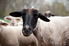 11_HR_sheep-2013