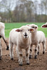 12_HR_sheep-2013