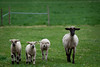 05_HR_sheep-2013