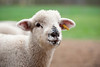 13_HR_sheep-2013