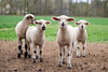 09_HR_sheep-2013