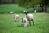02_HR_sheep-2013
