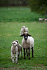 03_HR_sheep-2013