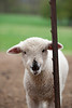 16_HR_sheep-2013