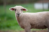 10_HR_sheep-2013