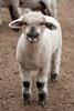 14_HR_sheep-2013
