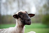 08_HR_sheep-2013