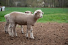 19_HR_sheep-2013