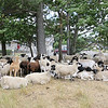 The sheep from Kalon Farm in Ashburnham sit in the shade of a tree on the ledge of the Leominster land fill where they spend their summer. SENTINEL & ENTERPRISE/JOHN LOVE