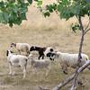 The sheep from Kalon Farm in Ashburnham wonder around the Leominster land fill where they spend their summer. SENTINEL & ENTERPRISE/JOHN LOVE