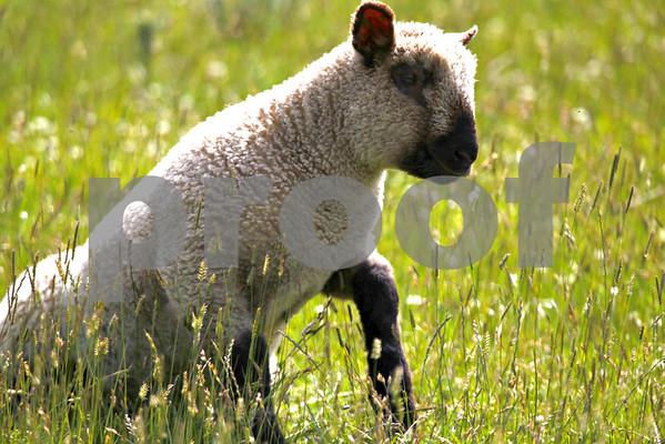 Sheep: Pack 1