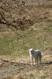 Maremma Sheepdog at work - Pastore maremmano abruzzese a lavoro col gregge
