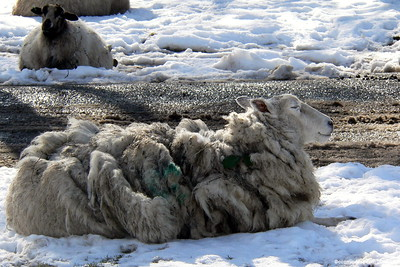 Sheep 004